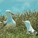 Northern Royal Albatross #7 - New Zealand