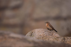 Fier comme un traquet (benoitduhamel1) Tags: traquet motteux oenanthe oiseaux bird wild nature sauvage