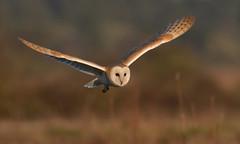 Barn Owl (KHR Images) Tags: barnowl barn owl tytoalba hunting daylight sunshine sunlight north norfolk coast wildlife nature wildbird birdofprey nikon d500 kevinrobson khrimages