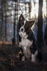 Curious (czypek) Tags: dog bordercollie animal majestic nature pet cute portrait mammal background bokeh domestic purebred outdoor forest pedigree canine puppy fur adorable awesome nostalgic isolated