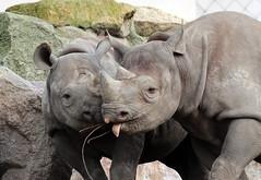 Black rhino Naima and Mara Blijdorp BB2A0803 (j.a.kok) Tags: animal africa afrika mammal zoogdier dier rhino rhinoceros rhinocalf neushoorn blackrhinoceros zwarteneushoorn puntlipneushoorn blijdorp