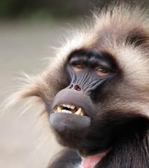 Gelada Blijdorp BB2A1965 (j.a.kok) Tags: animal africa afrika aap mammal monkey primate primaat zoogdier dier gelada roodborstbaviaan baviaan baboon blijdorp