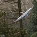 Grey Heron, full wingspan (Ardea cinerea)