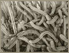 Tohono Chul IR #2 2020; Polaskia Cactus (hamsiksa) Tags: plants flora desertplants sonorandesert xerophytes succulents cacti cactus cactacea polaskiaspecies tohonochulgardens stilllife botanical blackwhite infrared digitalinfrared abstract abstractioninnature