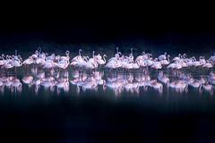 standing still (Rash_mint) Tags: still flamingo birds reflections outdoors nature animals wildlife