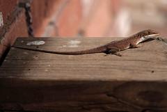 (C. Neil Scott) Tags: columbiasc southcarolina 225 lizard reptile