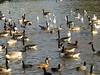 Canada Geese & Ducks..
