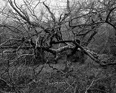 Hyons Wood, Walker Titan SF with Rodenstock Sironar N 150mm, Ilford Delta 100 @ Iso 50 in Perceptol (Jonathan Carr) Tags: tree trees hyonswood blackandwhite monochrome ancient woodland largeformat analogue 4x5 walkertitansf rural northeast landscape ilforddelta100 iso50 perceptol