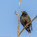 Starling perched (Sturnus vulgaris)