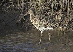 Curlew 1 12 Feb 2020 (Tim Harris1) Tags: nikond7100 nikkor80400afs titchwellmarsh norfolk rspb bird curlew