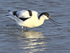Avocet 1 12 Feb 2020 (Tim Harris1) Tags: nikond7100 nikkor80400afs titchwellmarsh norfolk rspb bird avocet
