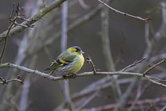 Tarin des aulnes (chogori20) Tags: oiseau passereau bird animal nature wildlife