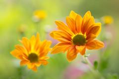 chrysanthemum 5355 (junjiaoyama) Tags: japan flower plant chrysanthemum mum orange winter macro bokeh