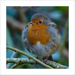 Robin (prendergasttony) Tags: robin border beak birdwatching birding bird nikon d7200 tonyprendergast elements nature northwest feathers feet pennington rspb wildlife wild wings tony birds branch breast red