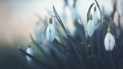 Snowdrops (michel1276) Tags: samyang13520 samyang sonya7iii sony spring springflowers frühling frühblüher flower flowers flora flowerwatcher blumen blüten bokeh bokehlicious nature bokehful natur