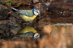 Mirror (marypink) Tags: paruscaeruleus cinciarella ordinepasseriformi famigliaparidi bird winter capannoparide nikond500 nikkor80400mmf4556