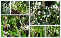 Orchidées blanches (Raymonde Contensous) Tags: orchidées fleurs orchid nature plantes mnhn expositionflorale milleetuneorchidées jardindesplantes paris grandeserrejardindesplantes muséum