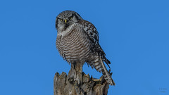 Northern Hawk Owl  6927 (Paul McGoveran) Tags: bif bird birdinflight nature nikon500mmf4 nikond500 nikond850 northernhawkowl ontario schomberg wings