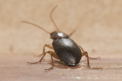 Beetle (Thomas Langhans) Tags: coleoptera beetle insect