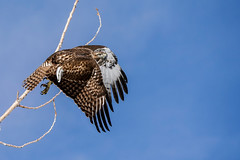 Launch - Hawk (Bernie Duhamel) Tags: redtailedhawk bird birdsofprey raptor colorado coloradowildlife wildlife frontrange greatphotographers teamsony rockymountains sonya9 sonyfe200600mm bernie duhamel flight launch sunshine