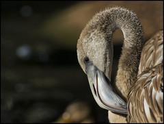 _SG_2019_12_5012_IMG_5499 (_SG_) Tags: flamingo kopf head rosa pink flamingoes phoenicopterus tiere animals tier wildlife new born nachwuchs