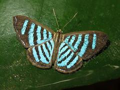 Argyrogrammana trochilia (Over 6 million views!) Tags: butterfly ecuador riodinidae argyrogrammanatrochilia insect butterflies