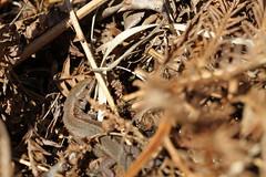 Zootoca vivipara (ChristianMoss) Tags: common lizard zootoca vivipara reptile eppingforest