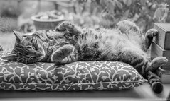 Tales from the windowsill...the Tabby sleeps today#1🎶 (Picture-Perfect Cats) Tags: tabby adorable animals cat cute domestic domesticanimal domesticcat eye eyes feline fur furry gray hair kitty looking pet pets portrait striped tail whisker whiskers sleeping catmoments