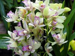 Délicates orchidées (Raymonde Contensous) Tags: orchidées fleurs orchid nature plantes mnhn expositionflorale milleetuneorchidées jardindesplantes paris grandeserrejardindesplantes muséum