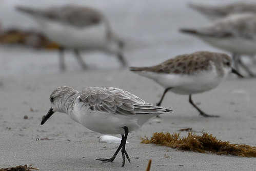 Sanderlings and Red-necked stint
