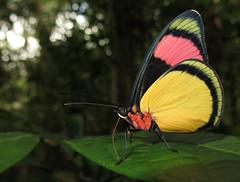 Batesia hypochlora (Over 6 million views!) Tags: butterfly ecuador nymphalidae batesiahypochlora insect butterflies