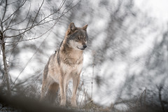 Loup... (Yannick Megard) Tags: wolf animal animaux loup nature free jura summit montagne mont france europe canis lupus sauvage wild wildlife explore exploring searching affut affût happiness morning snow snowy winter february sony alpha7iii ilce7m3 200600mm portrait bokeh