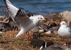 Black-headed gull (Chroicocephalus ridibundus, ユリカモメ) (Greg Peterson in Japan) Tags: kusatsu ユリカモメ wildlife print 琵琶湖 栗東市 5x7178x127mm 野鳥 shiga birds japan 滋賀県