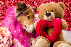 They called it teddy love. (pkwebbk70) Tags: morgan teddy collie dog puppy love roughcollie roughcoatedcollie whitecolle february sableheadedwhitecollie canoneosr canonrf2470mmf28 valentine valentinesday febrary14th valentinesday2020