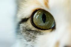 The Eye of the Tiger (VintageLensLover) Tags: augen katzenaugen katzen cats haustiere katzenliebe nahaufnahme makro makroaufnahme sonya7iii fe90mmf28makro