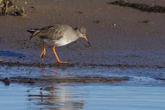 K32P9638aa Redshank, RSPB Titchwell, January 2020 (bobchappell55) Tags: norfolk rspb titchwell tringatotanus bird marsh nature redshank wader wild wildlife