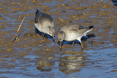 K32P0727a Knot, RSPB Titchwell, February 2019 (bobchappell55) Tags: wild bird wildlife nature norfolk rspb titchwell marsh wader knot calidriscanutus