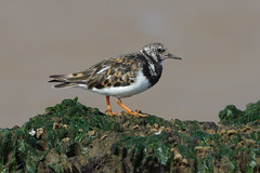 K32P6984c Ruddy Turnstone, Titchwell Beach, September 2019 (bobchappell55) Tags: arenariainterpres norfolk titchwell beach bird nature rocks wader wild wildlife ruddy turnstone