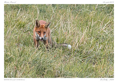 Goupil | Fox (BerColly) Tags: france auvergne puydedôme animal mammal mammifère renard fox portrait été summer chasse hunting bercolly google flickr