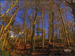 The Winter Sun Paints The Winter Trees. (Picture post.) Tags: landscape nature green trees woods winter bluesky shadows paysage arbre