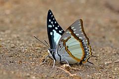 Polyura eudamippus - the Great Nawab (BugsAlive) Tags: butterfly mariposa papillon farfalla 蝴蝶 dagvlinder 自然 schmetterling бабочка conbướm ผีเสื้อ animal outdoor insects insect lepidoptera macro nature nymphalidae polyuraeudamippus greatnawab charaxinae wildlife lamnamkoknp ผีเสื้อในประเทศไทย chiangrai liveinsects thailand thailandbutterflies bugsalive ผีเสื้อม้าขาวโคนปีกดำ