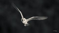 Barn Owl - Tyto alba (2020Visi0n) Tags: barnowl tytoalba owl nature wildlife bird birdphotography inflight birdinflight wildlifephotography norfolk marsh
