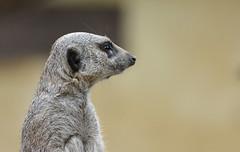 Mugshot of a Meerkat (johco266) Tags: meerkat stokstaartje dezonnegloed nature natuur natur naturaleza nikon animal animals mammal mammifère zoogdier suricatasuricatta suricate erdmännchen coth5