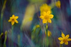 Tamron 70-300mm (JuanCarlossony) Tags: narcisos flores naturaleza tamron 70300mm sony slta58 a58 macro macrofotografía