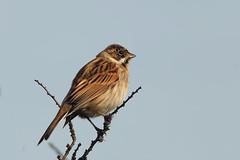 Reed Bunting (drbut) Tags: reedbunting emberizaschoeniclus buntings farmland reedbeds lakes wetlands bird birds avian countryside wildlife nature