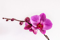 Orchidée (balese13) Tags: 16300 d5500 nikonpassion tamronaf16300mmf3563dillvcpzdmacrob016 yourbestoftoday balese fleur flower nikon nikonistes orchidée pink pixelistes pourpre tamron 250v10f 500v20f