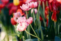 Tulip (trucviet323 's photo) Tags: fujifilm xh1 56mm 5612r xf56mm