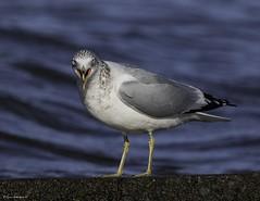 2I1A7869a (lfalterbauer) Tags: gull 7dmarkii nature wildlife photographer canon ornithology ringbilledgull avian lake bird outdoor