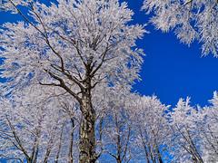 Alberi di cristalli... di ghiaccio - Crystal trees... of ice (Eugenio GV Costa) Tags: approvato tree albero campagna natura countryside nature outside amiata siena italy grosseto montagna neve alberi mountain snow trees