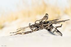 The Merlin (Khurram Khan...) Tags: wwwkhurramkhanphotocom khurramkhan bealpha birdsofprey naturephotography wildlifephotography birds raptors newjersey